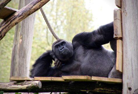 Gorilla resting on platform