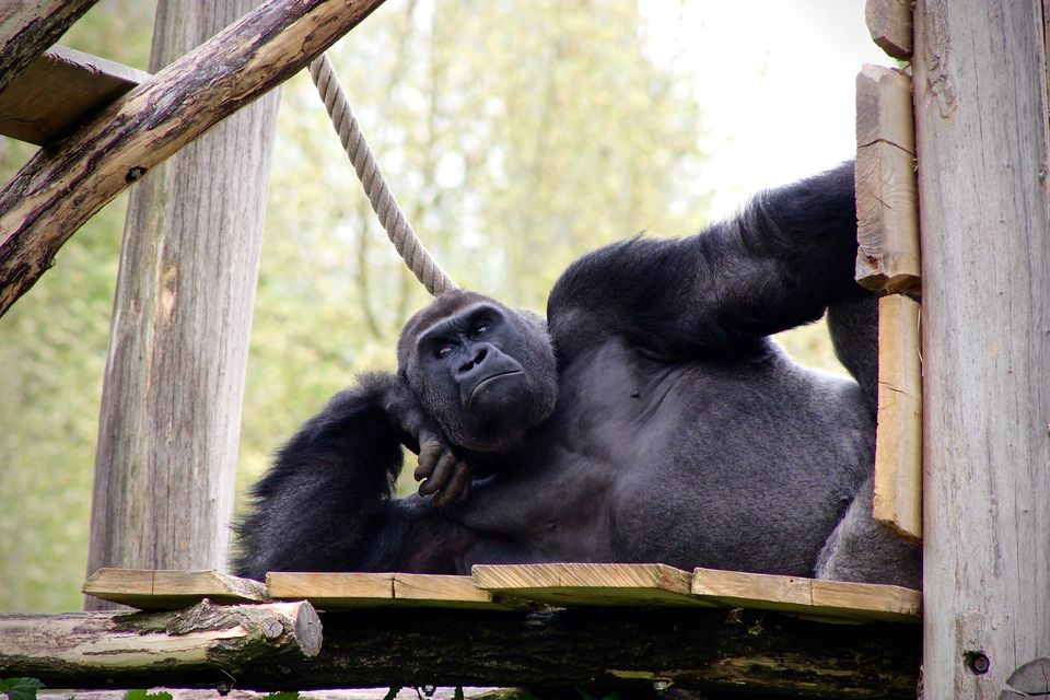 #1: Why Are There No Gorillas in Singapore Zoo?